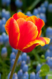 Macro image of an tulip Stock Photography