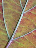Macro image of veins on the leaf Royalty Free Stock Images