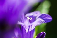 Macro image of violet bellflowers Royalty Free Stock Photo