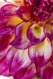 Purple and white dahlia petals. Stock Image
