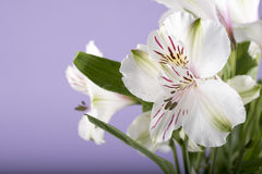 Macro image of a white lily Royalty Free Stock Photos