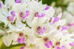 Macro image of white and purple orchid, Rhynchostylis gigantea. Royalty Free Stock Images