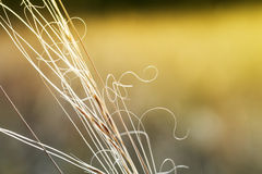 Macro image of wild grasses, small depth of field. Royalty Free Stock Photos