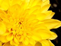 Macro image of yellow flower Royalty Free Stock Image