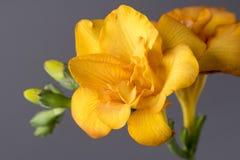 Macro image of a yellow freesia. Macro image of a yellow freesia on a grey background stock photos