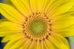 Macro image of yellow sunflower. Stock Photo