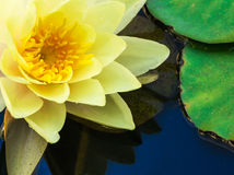 Macro Image of Yellow Water Lilly Royalty Free Stock Photo