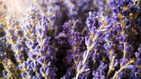 Macro immagine dei fiori asciutti della lavanda nei raggi del sole Foto del primo piano di crescita di fiori viola e porpora in P fotografia stock libera da diritti