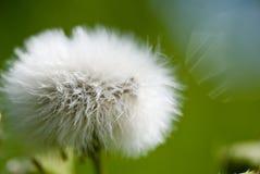 Macro immagine del fiore del dente di leone fotografia stock