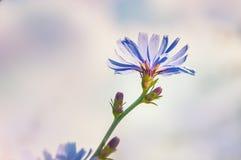 Macro immagine del fiore della cicoria fotografia stock
