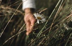Macro immagine della camomilla con la mano che prende  fotografia stock libera da diritti