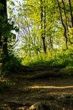 Macro immagine della terra di una foresta la foglia asciutta del faggio nella priorità alta e nelle parti di una radice Immagini Stock