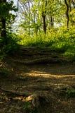 Macro immagine della terra di una foresta la foglia asciutta del faggio nella priorità alta e nelle parti di una radice Fotografia Stock Libera da Diritti