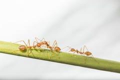 Macro immagine delle formiche rosse Immagine Stock
