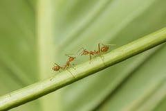 Macro immagine delle formiche rosse Fotografie Stock Libere da Diritti