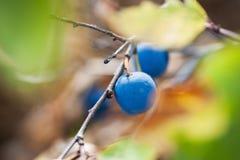 Macro immagine di frutta blu del prugnolo immagini stock