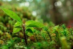 Macro immagine di muschio verde e di piccola pianta sulla roccia in foresta Immagini Stock