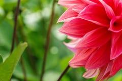Macro immagine di un fiore rosso della dalia in fiore fresco, dalia rossa dei petali in giardino immagini stock libere da diritti