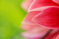 Macro immagine di un fiore rosso della dalia in fiore fresco, dalia rossa dei petali in giardino immagine stock libera da diritti