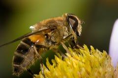 Macro impollinata ape mellifica Fotografia Stock Libera da Diritti