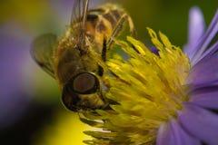 Macro impollinata ape mellifica Fotografie Stock