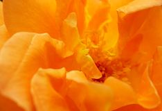 Close-up of orange rose petals. Macro inner petals overlapping each other curly orange roses Stock Photos