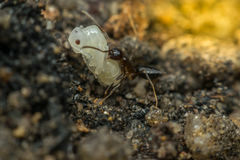 Macro of insect black ant Stock Photos