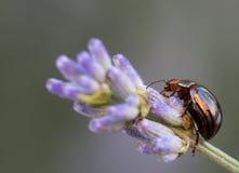 Macro of an insect : Chrysolina americana Stock Photos