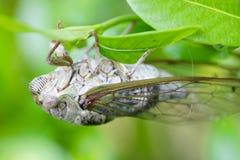 Macro Insect (Cicada) Royalty Free Stock Photo