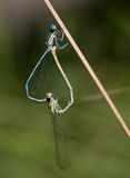 Macro of an insect : Coenagrion puella Stock Photos