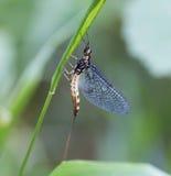 Macro of an insect : Ephemera vulgata stock image