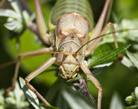 Macro of an insect : Ephippiger ephippiger Stock Photography