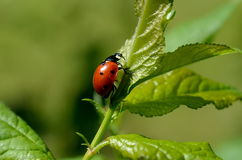 Macro insect lady bug Royalty Free Stock Image