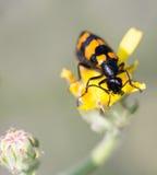 Macro of an insect : Mylabris variabilis Stock Image