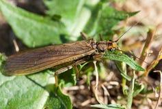 Macro of an insect : Perla marginata stock image