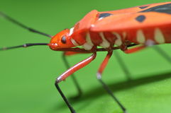 Macro Insect Royalty Free Stock Photography