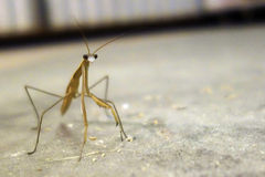 Macro insect. Macro shot of a prey mantis Stock Images