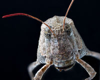 Macro of an insect : Sphingonotus caerulans Stock Photo