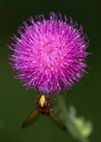 Macro of an insect : Volucella inanis. Close-up of an insect realized in the south of France during summer Stock Photos