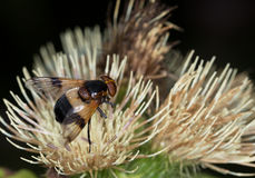 Macro of an insect : Volucella pellucen Stock Image