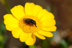 Macro insect on yellow flower in japanese garden Stock Photos
