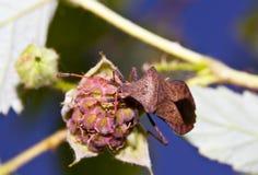 Macro insecte d'insecte se reposant sur une framboise Photographie stock libre de droits