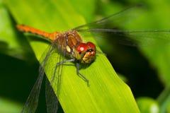 Macro insecte de libellule sur une feuille verte Image libre de droits