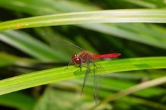 Macro insecte de libellule sur une feuille verte Photos stock