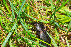 Macro insecte de scarabée sur l'herbe dans le jardin Photos stock