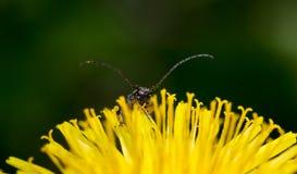 Macro insecte se reposant sur un pissenlit Image libre de droits