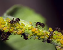 Macro insects are ants and aphids. On a tree branch Stock Photography