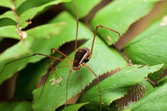 Macro - Insects long leg black spider. Macro photography showing a long leg black spider Royalty Free Stock Photo