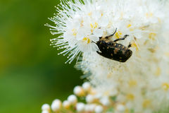 Macro inserir que alimenta nas flores brancas Imagem de Stock Royalty Free