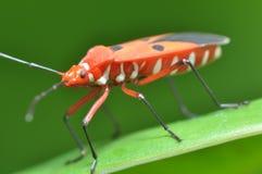 Macro insetto Fotografie Stock
